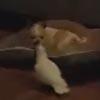 попугай отнимает игрушку у собаки