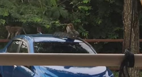 обезьяна украла номерной знак