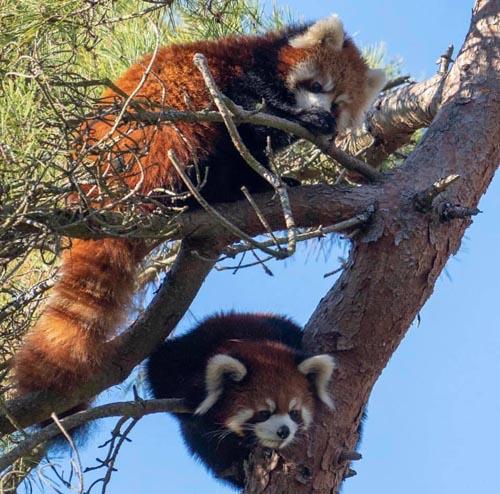 красные панды сбежали из вольера