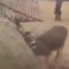 спасение оленя из гамака