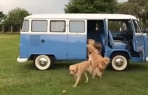 вереница собак в автомобиле