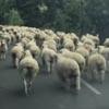 большое стадо овец на дороге