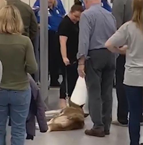 упрямый хаски в аэропорту