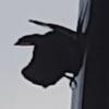 ворона чистит водосточный жёлоб