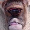 телёнок родился с одним глазом