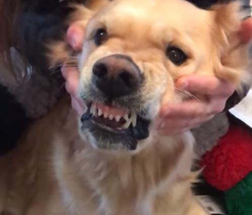 жадная собака защищает игрушки