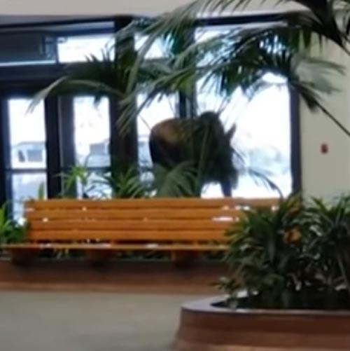 лось явился в больницу