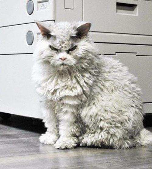 напыщенный злобный кот