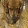 храпящую собаку сняли на видео