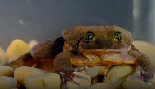 одинокий самец лягушки