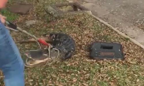 аллигатор в ливневом стоке