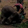 слонёнок повалил туриста на землю