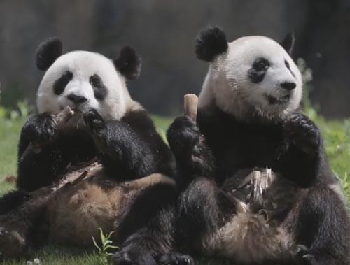 жадная панда и её подруга