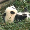 детёныш панды укатился с лежанки