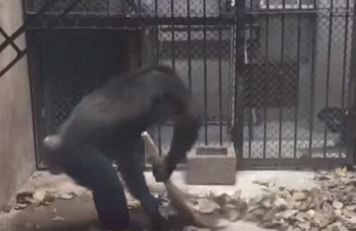 шимпанзе подметает веником
