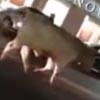 бык отправился гулять по улицам