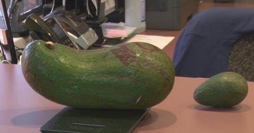 рекордные авокадо фермера