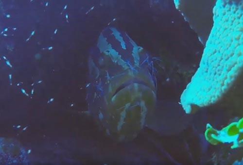 креветки чистят кожу рыбы