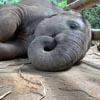 слонёнок заснул и захрапел