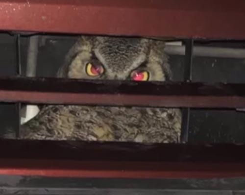 водитель случайно сбил сову