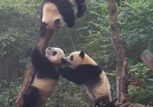 панда с миротворческой миссией