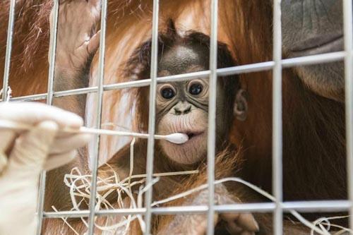 отец маленького орангутанга