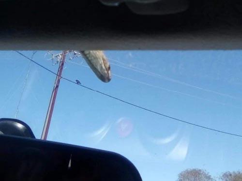 ядовитая змея на крыше машины