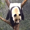 панда превратилась в коврик