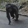 шимпанзе сбежали из вольера