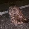 сова сидела на дороге