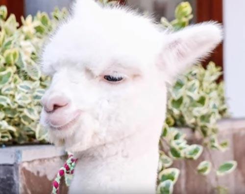 общение с альпака по видеосвязи