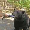 кормлением медведей лососем