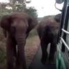 слоны остановили автобус