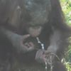 маленький орангутанг ест снег