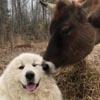 дружба между коровой и собакой