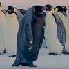 самый редкий пингвин в мире