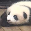 дружелюбная маленькая панда
