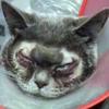 пластическая операция для кошки