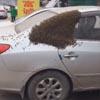 пчёлы уселись на автомобиль