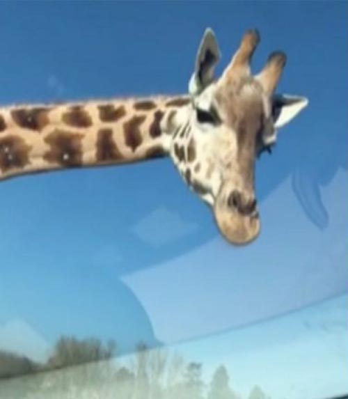 жадный жираф в сафари-парке