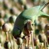 попугаи воруют мак у фермеров