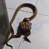 змея поймала большую лягушку