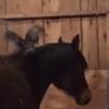 петух перепутал лошадь с насестом