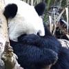 панда оказалась застенчивой