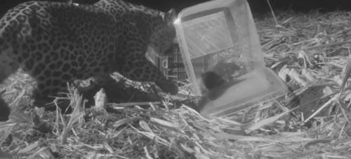 потерявшийся детёныш леопарда