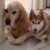 собаки разорвали диван