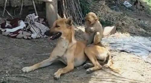 обезьяна нашла замену маме