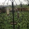 сотни скворцов на лужайке