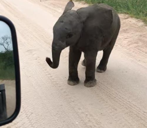 слонёнок захотел поиграть