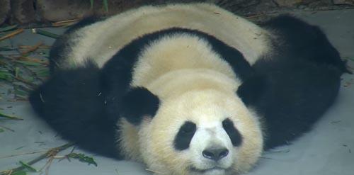 панда дремлет в позе коврика